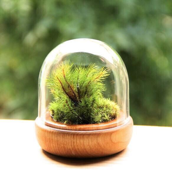苔テラリウム/木毛小箱(こけこばこ)